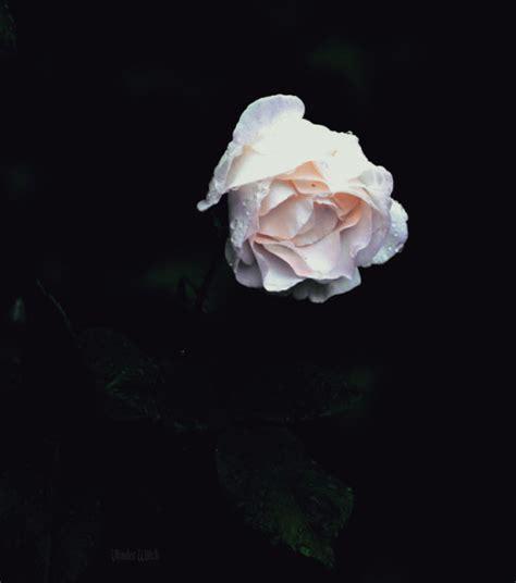 raindrops  white roses tumblr