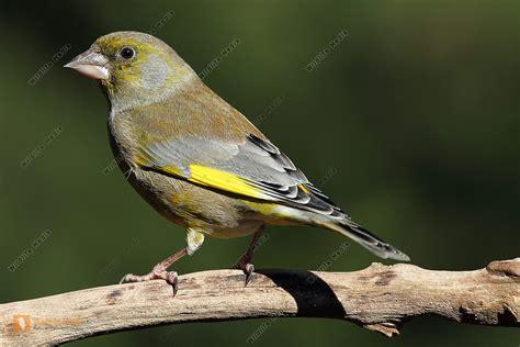 bestellen gruenfink gruenfink  freier wildbahn