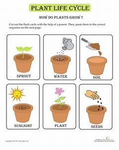Worksheets  Plant Life Cycle Flash Cards    Preschool Items
