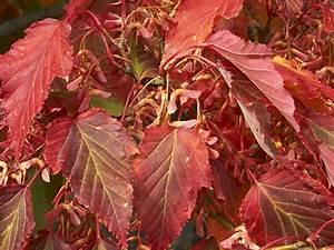 Ahorn Rote Blätter : schlangenhaut ahorn und co die 3 exotischsten ahorn b ume ebay ~ Eleganceandgraceweddings.com Haus und Dekorationen