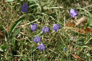 Lang Blühende Pflanzen : campanula persicifolia pfirsichbl ttrige glockenblume ~ Eleganceandgraceweddings.com Haus und Dekorationen
