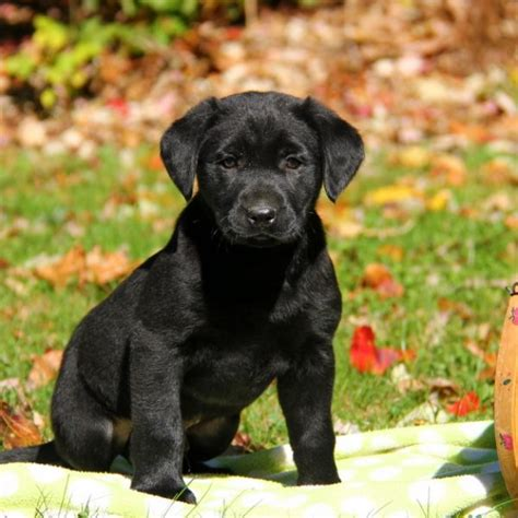 black labrador retriever puppies  sale greenfield puppies