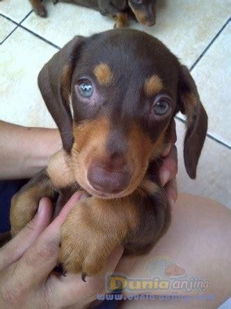 dunia anjing jual anjing dachshund jual cepat mini