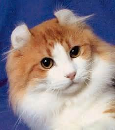 american curl cat american curl cat animals wiki pictures
