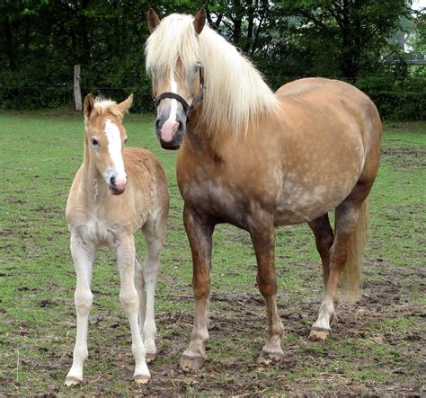 haflinger wikipedia horse horses mare breed breeds half foal ponies linger austria baby italy wiki sturdy chestnut haflingers