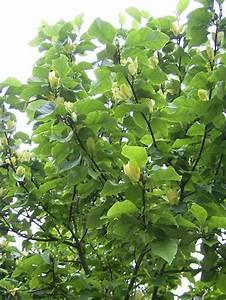 Magnolie Blätter Erfroren : magnolien ~ Lizthompson.info Haus und Dekorationen