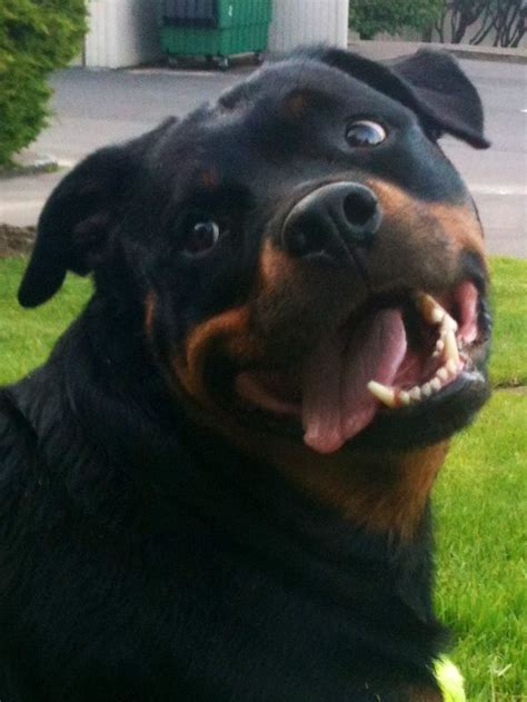 images  rottweilers  pinterest touch