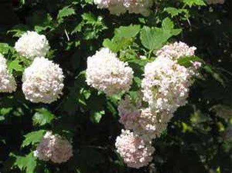 Garten Schneeball Strauch Baum Viburnum Arten Pflege