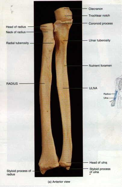 Ulna Diagram Neck by Journals Sheet Number Six
