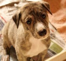 windhund mischlingswelpen  geltendorf von privat hunde