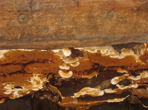 Echter Hausschwamm Erkennen by Hausschwamm Pilz