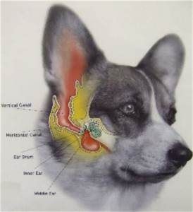 Dog ear infections and causes - hounslowvets