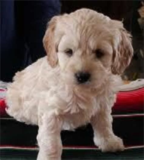 pets on pinterest pug puppys and cockapoo puppies