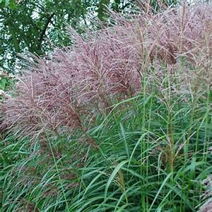 Miscanthus sinensis Anders.
