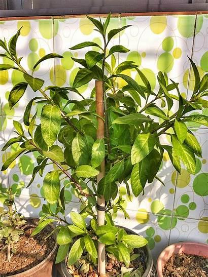 Gynura Procumbens Wikipedia Plant Diabetes Wiki Kingdom