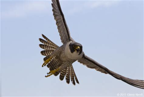 peregrine falcon los padres forestwatch