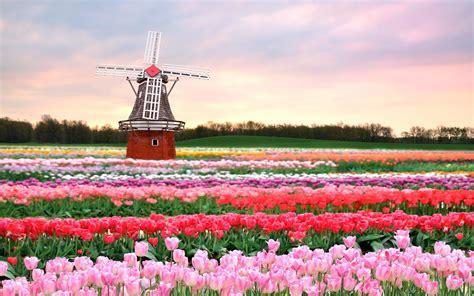 hd tulpen achtergronden en fotos achtergronden