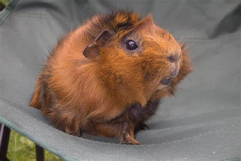 ginnie pig guinea pigs guinea pigs photo 23547338 fanpop