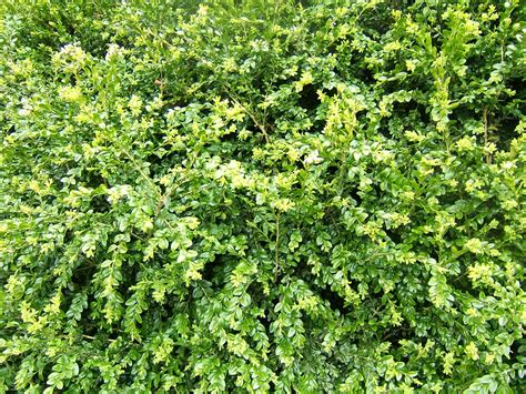 File:Buxus sempervirens foliage0Wikimedia Commons