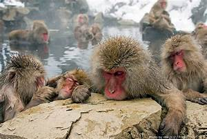 Interesting Facts About Snow Monkeys Just Fun Facts