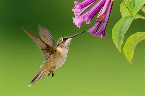 flowers that attract hummingbirds plants that attract hummingbirds the old farmer s almanac