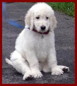 Golden Retriever Poodle Mix Full-Grown
