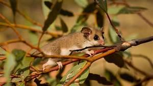 Mountain Pygmy Possum Habitat Diet Reproduction