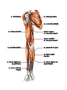 Muscular System Arm Muscles