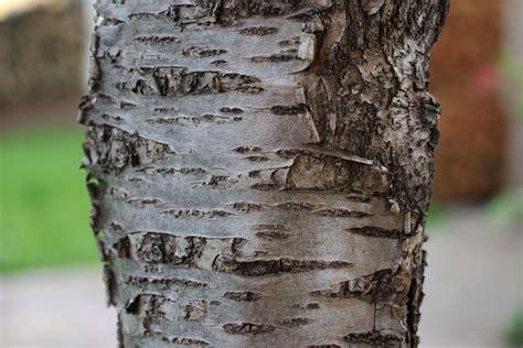 apfelbaum krankheiten stamm 13 h 228 ufige apfelbaum krankheiten an rinde bl 228 ttern und fr 252 chten