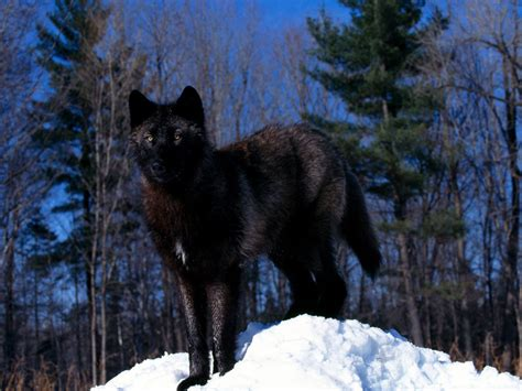 Black Wolf Wallpaper by Black Wolf In The Snow Wallpapers Black Wolf In The Snow