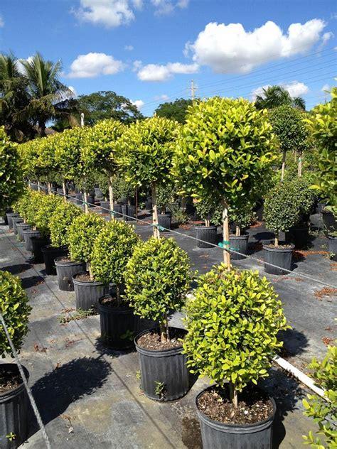Florida Tuxedo Plants | plantANT.com