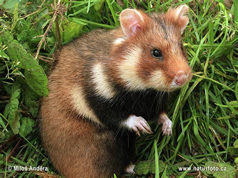 grand hamster d alsace le cricetus en voie de