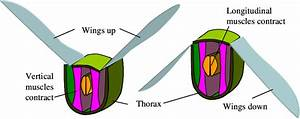 Indirect Flight Muscles Act On The Thorax And Deform It To
