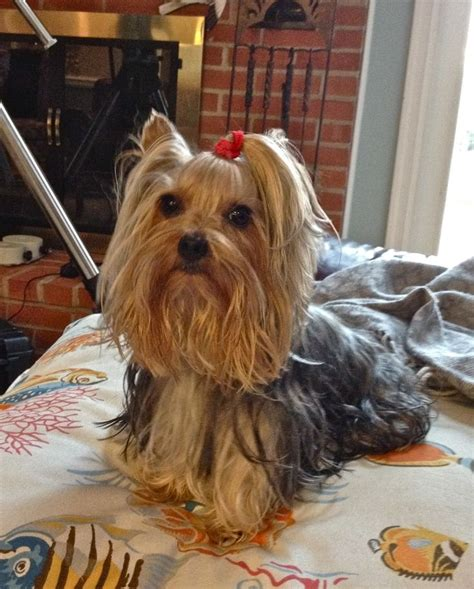 Morkies Do They Shed by 14 Best Images About Yorkie Haircuts On Best