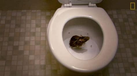 voici comment les rats parviennent 224 se faufiler jusque dans vos toilettes vid 233 o rtl