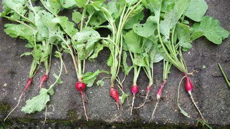 cuisiner les feuilles de radis radis tout en feuilles et pas de bulbe les autres
