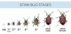 What Are Stink Bugs & What Do Stink Bugs Look Like - Stink ...
