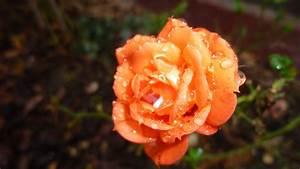 Rosen Winterfest Machen : rosen winterfest rosen winterfest machen rosen anh ufeln youtube rosen winterfest machen sat 1 ~ Orissabook.com Haus und Dekorationen