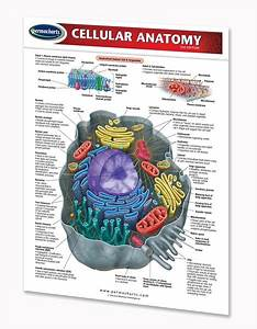 Cellular Anatomy Chart