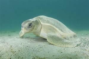 Photo of the Day ~ Australian Flatback Sea Turtles ...