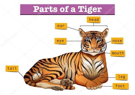 diagram met delen de tijger stockvector 169 blueringmedia 118001004