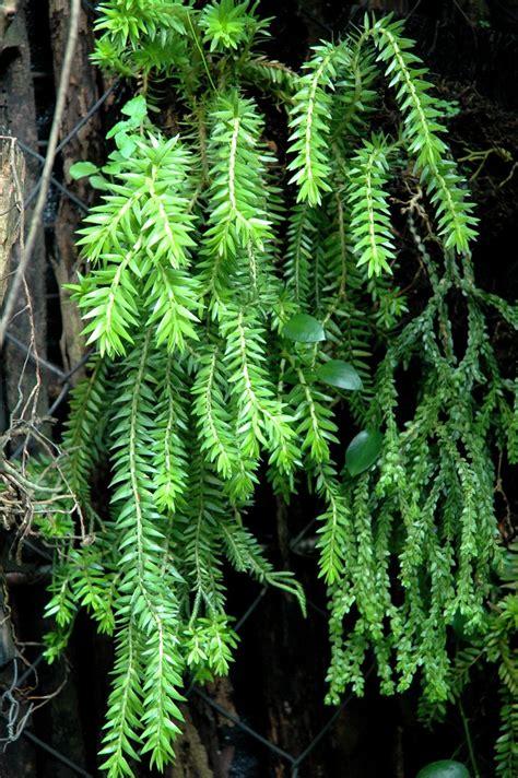lycopodium phlegmaria  epiphytic herb  pendant stems flickr