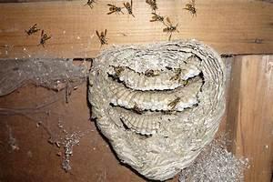 Wespen Im Haus : wespennest im haus wespennest im rolladenkasten ~ Lizthompson.info Haus und Dekorationen