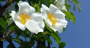 Georgia State Flower: The Cherokee Rose - ProFlowers Blog