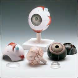 Vitrectomy Chair Medicare Coverage by Human Eye Model