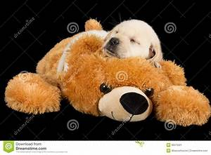 Labrador Puppy Sleeping On Big Brown Teddy Bear Stock ...