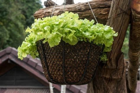 Hanging Vegetable Garden by Growing Vegetables In Hanging Baskets Thriftyfun