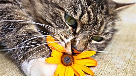 nombres de gato  la letra  wikipets