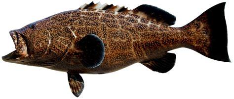 grouper different clipart mounts sailfish king