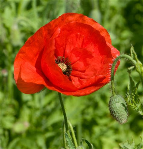growing poppies plant  growgoodnz